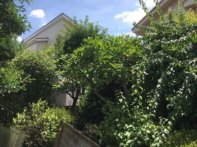 庭木がボウボウに茂っています